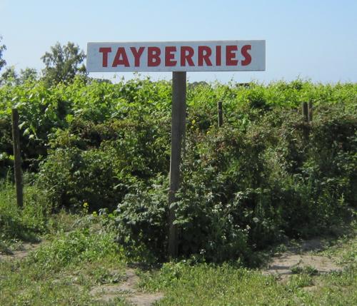 Upick tayberries