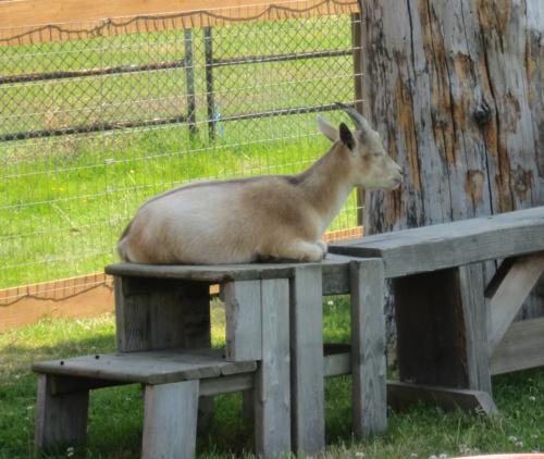 Other mini-goat