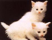 Angora_cats