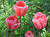 Pink_tulips_by_katr